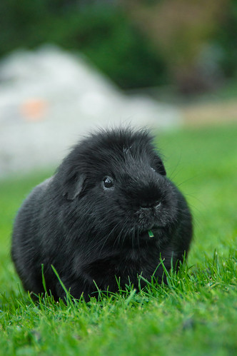 Gus the guinea pig by GeorgieAriel
