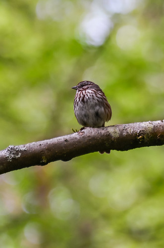 <p><i>Melospiza melodia</i>, Emberizidae<br /> Maplewood Conservation Area, North Vancouver, British Columbia, Canada<br /> Nikon D5100, 70-300 mm f/4.5-5.6<br /> April 28, 2013</p>