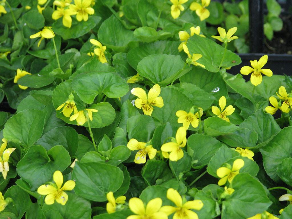 Viola glabella