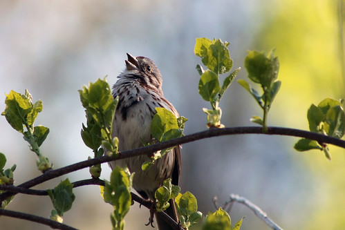 bird nature leaves spring wings bokeh branches birdsong sparrow springtime lincolnri blackstoneriverbikeway