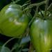 Tomates rescapées des orages du printemps ...