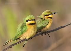 Little Bee-eaters- Merops pusillus
