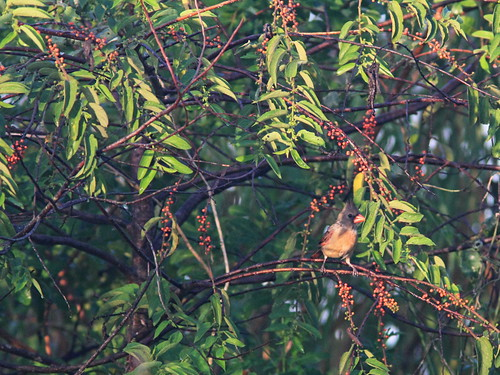Cardinal in fruiting Trema 20160904
