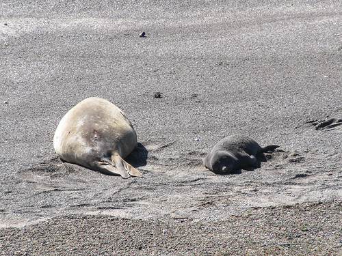 La Peninsula de Valdés: des éléphants de mer et leur petit