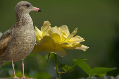 A Bird A Rose