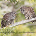 Barred Owl couple by kleinfew