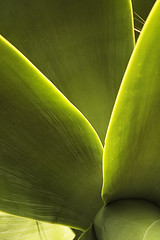Green Agave
