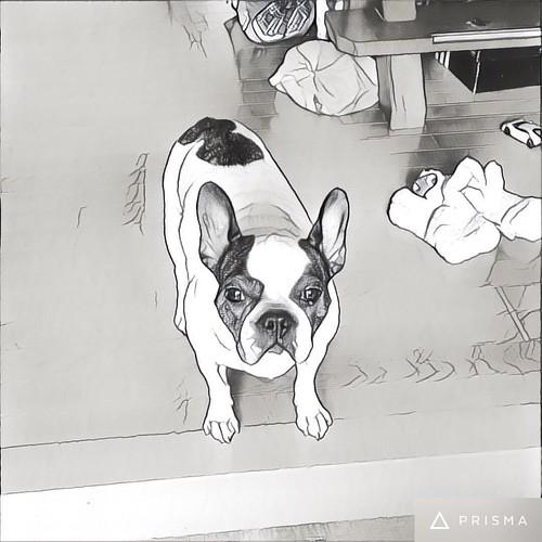 #いってらっしゃい #frenchbulldog  #フレブル #dog