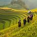 Terrace rice field,vietnam by SaravutWhanset