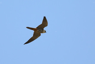 Eurasian Hobby/Falco subbuteo