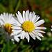 Lovely Daisy by DaveJC90