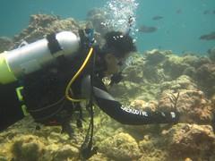 2011年扦插的軸孔珊瑚分支,海管處提供。