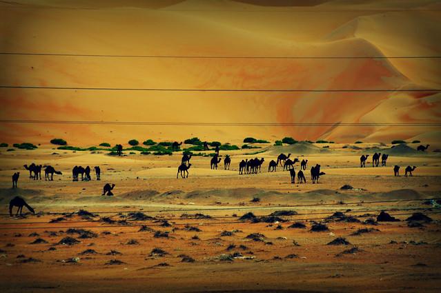Liwa Desert - camel farm
