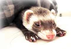 Bed Bug Ferret