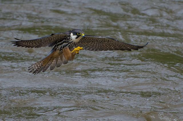 Hobby / Alcotán (Falco subbuteo)