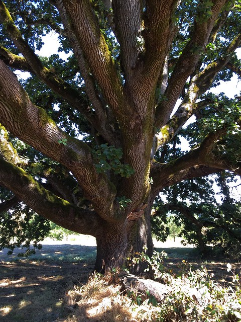 Ewing Young Oak.  Yamhill County outside of Newburg Oregon.  August 27 2016.