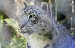 The Eye of the Snow Leopard