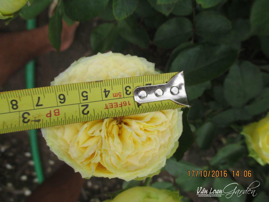 Hoa hồng Catalina Rose có đường kính trung bình từ 7-10cm