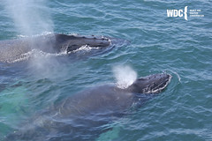 Venom (in back) surfacing with her calf