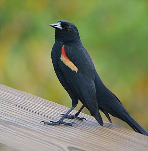 Florida's elegant Red Winged Blackbird by jungle mama
