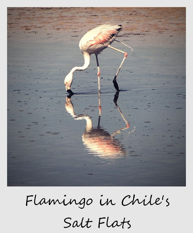 polaroid of the week chile atacama desert salt flats flamingo