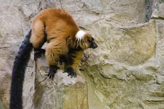 Lemur on the ledge