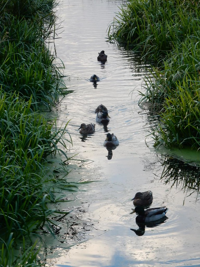 Ducks on the river Sandy to Biggleswade