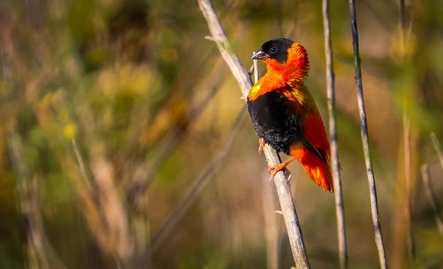 October Orange....Northern Red Bishop San Jaoquin Wildlife Sanctuary 570