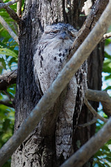 Tawny Frogmouth - Woodgate Beach