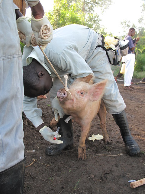 Inspecting a pig in western Kenya