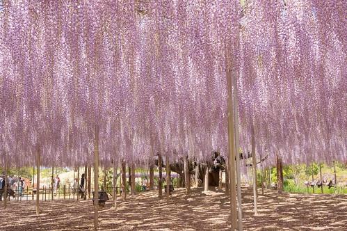 oh-fuji wisteria