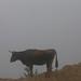 Bull in the fog - Toro en la neblina; camino entre San Pedro Ocotepec y San Lucas Camotlán, Región Mixes, Oaxaca, Mexico por Lon&Queta