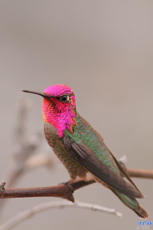 Anna's Hummingbird 050513-2