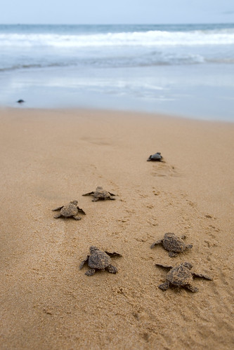 baby loggerheads going to ocean