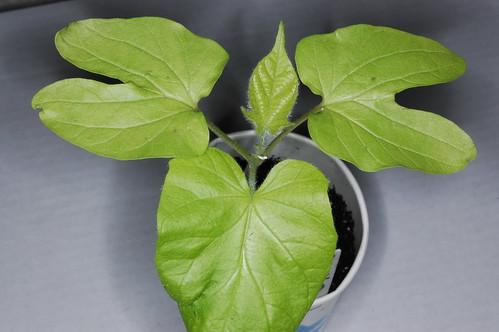 Ipomoea nil Blue Botan (Fujie) Plant 3 by Gerris2