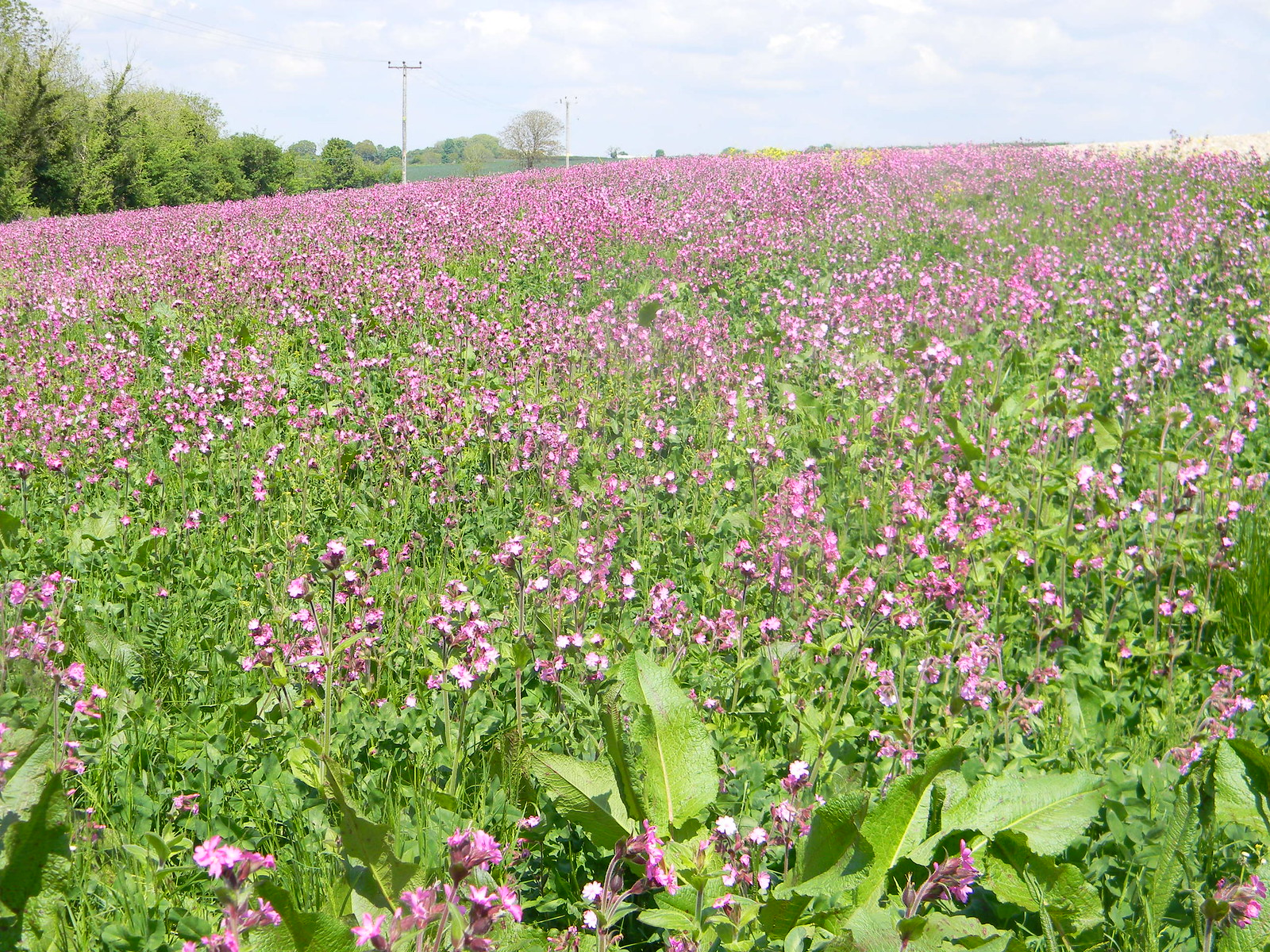 Field of red A vast expanse of red campion. Salisbury to Amesbury via Stonehenge