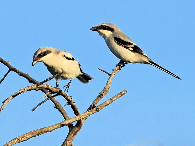 Loggerhead Shrike courtship 3-20130607