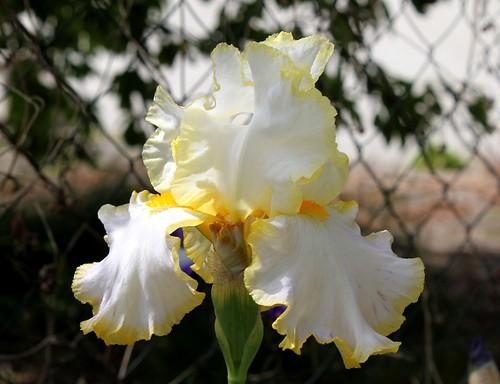 Nos Iris : floraisons 2012 - Page 2 8984834789_8ce24444ea