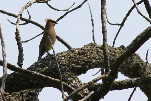 IMG_0125_Cedar_Waxwing_at_Ouabache