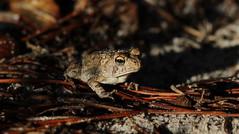 Southern Toad, Aripeka Sandhills Preserve