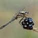 Black Darter Sympetrum danae by Iain Leach