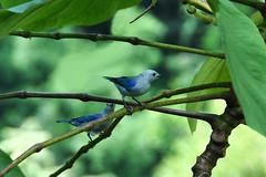 San Ignacio - 2 Blue-gray Tanagers