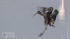 Vuelos de aves (Bird flights). Ibis y espátulas (ibis and spatules)