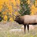 Bull Elk Fall Colors