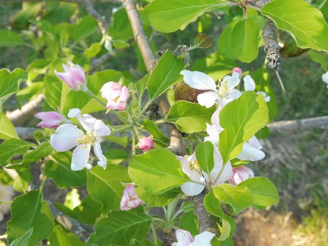 P1030199 Dorsett golden apple blossoms Goleta