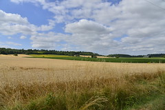 Champs de blé après le passage de la moissonneuse