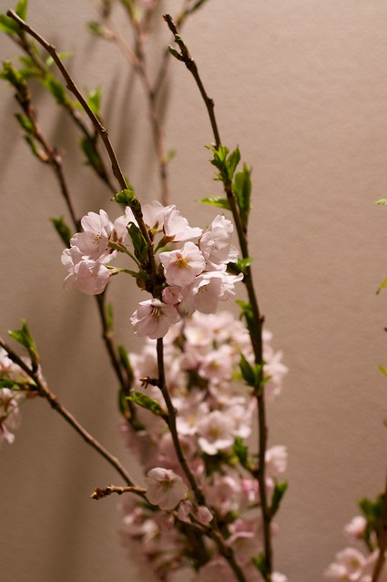 Cherry tree#8
