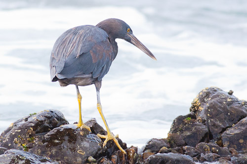Eastern Reef Egret, grey morph