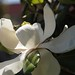 In the neighborhood…Magnolia grandiflora - 14