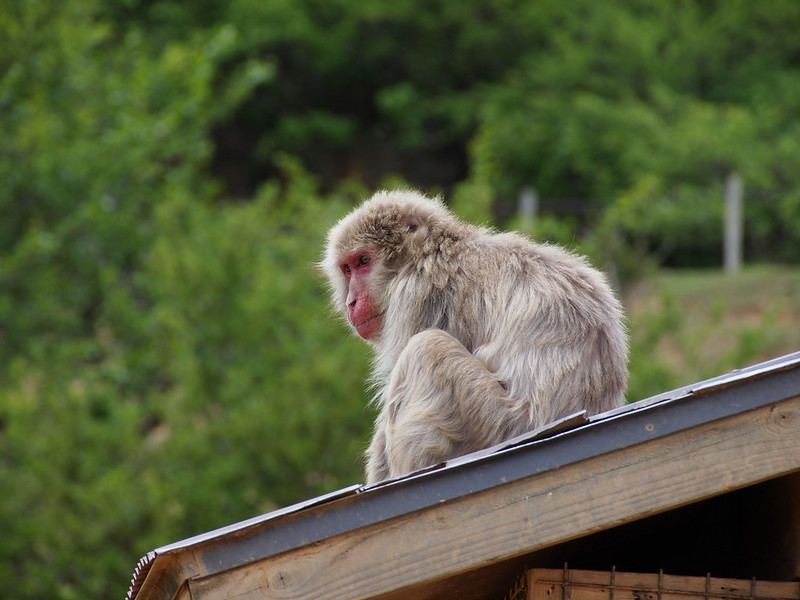 Monkey in Arashiyama, 嵐山のサル